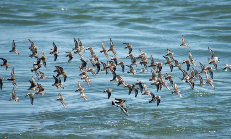 پرندههای مهاجز